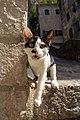 A feral cat in Kotor, Montenegro-3.jpg