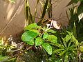 A flower in our garden outdoors..JPG