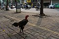A rooster in Hanoi, 12 March 2019.jpg
