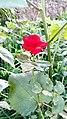 A single Rose.jpg