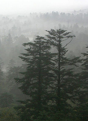 Abies fabri in mist.jpg