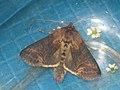 Abrostola triplasia - Dark Spectacle - Крапивная совка бурая (40390964014).jpg