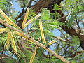 Acacia catechu flowers Townsville 3672.JPG