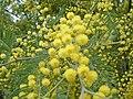 Acacia dealbata 2.jpg