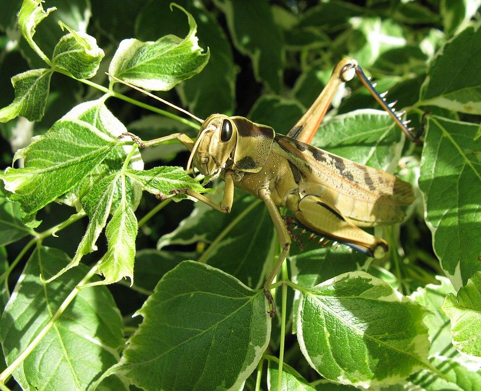 Acanthacris ruficornis Acrididae IMG 2127s