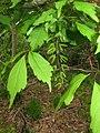 Acer cissifolium 5.JPG