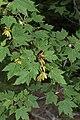 Acer glabrum 5197.JPG