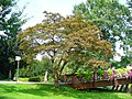 Acer palmatum 001.jpg