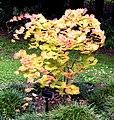 Acer shirasawanum 'Autumn Moon' in Auckland Botanic Gardens 04.jpg