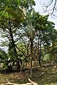 Acharya Jagadish Chandra Bose Indian Botanic Garden - Howrah 2011-01-08 9866.JPG