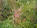 Achyranthes aspera (San Andrés y Sauces) 01 ies.jpg