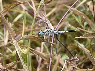 <i>Acisoma</i> genus of insects