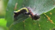 Bestand:Acronicta psi - caterpillar.ogv