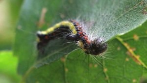 File:Acronicta psi - caterpillar.ogv