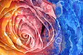 Acrylic Rose Macro - Hybrid HDR (11428169494).jpg