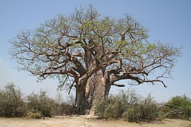Adansonia digitata MS 10040.jpg