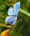 Adonis Blue Butterfly (Lysandra bellargus) male (14427092014).jpg