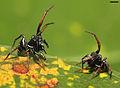 Adult male Zygoballus sexpunctatus agonistic behavior.jpg