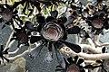 Aeonium arboreum Atropurppureum in Jardin de Cactus on Lanzarote, June 2013.jpg