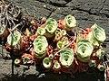 Aeonium aureum (≡ Greenovia. aurea) (Marianne Perdomo) 1.jpg