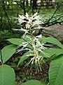 Aesculus parviflora kz11.jpg