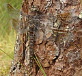 Aeshna crenata female.jpg