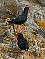 African Black Oystercatchers (Haematopus moquini) (32086162593).jpg