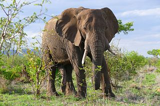 African bush elephant species of mammal