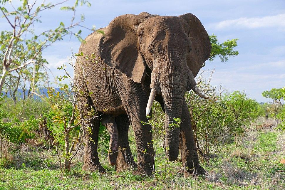 African Elephant (Loxodonta africana) bull (31100819046)