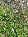 African Foxglove (Ceratotheca triloba) (11494257934).jpg