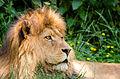 African Lion (18576284415).jpg