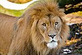 African Lion (40307117333).jpg