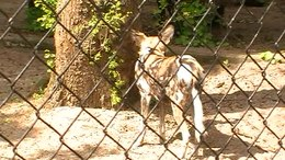 Ficheru:African wild dogs at Artis.ogv
