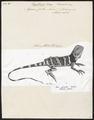 Agama picta - 1700-1880 - Print - Iconographia Zoologica - Special Collections University of Amsterdam - UBA01 IZ12800085.tif