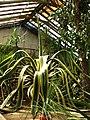 Agave americana (in a greenhouse) 01.JPG