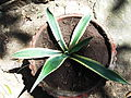 Agave americana marginata-2-yercaud-salem-India.JPG