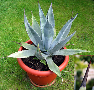 Agave deserti - Agave deserti in cultivation