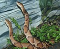 Agkistrodon contortrix phaeogaster (2).jpg
