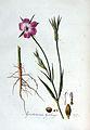 Agrostemma githago — Flora Batava — Volume v3.jpg