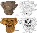 Akainacephalus skull above and below.png