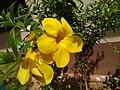 Alamanda flower.jpg