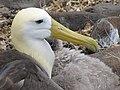 Albatross birds - Espanola - Hood - Galapagos Islands - Ecuador (4871025801).jpg