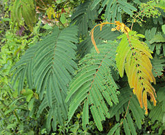Albizia chinensis leaves.jpg