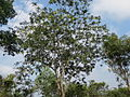 Albizia lebbeck tree 01.JPG