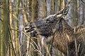Alces alces 14(js), Biebrza National Park (Poland).jpg
