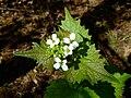 Alliaria petiolata 1.jpg
