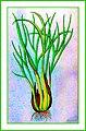 Allium ascalonicum Ypey29.jpg