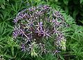 Allium cristophii - Ail Étoile de Perse.jpg