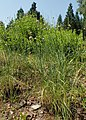 Allium strictum kz02.jpg