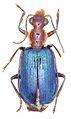 Allocota viridipennis - ZooKeys-284-001-g003-15.jpeg